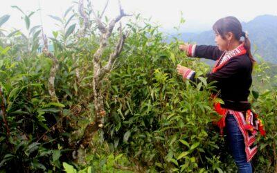 Le thé vert Shan Tuyet, la spécialité du nord du Vietnam