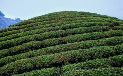 Moc Chau : Le véritable paradis du thé Vietnamien