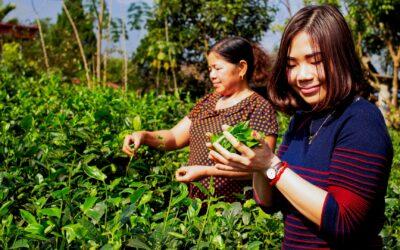 À la rencontre de Monsieur & Madame Thiep : producteurs de Thé Vert à Thai Nguyen !