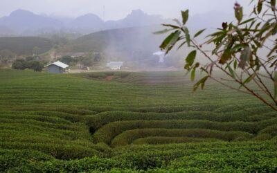 Découvrez les thés Oolong Vert, Oolong Rouge et Oolong Noir de Moc Chau