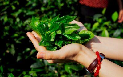 Les thés sous toutes leurs formes au Vietnam