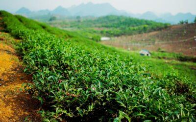 Vietnam round 2 : Un voyage mouvementé à la recherche de votre récolte de printemps !