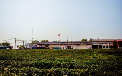 Notre visite de la fabrique de thé Oolong à Mộc Châu [Vidéo Partie 2]