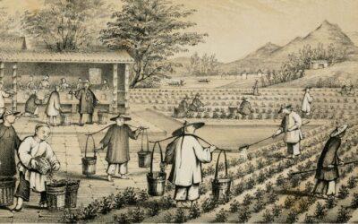 L'histoire du thé : Shennong et la découverte de votre boisson préféré !