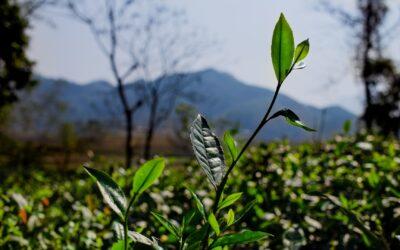 Notre promo de -50% sur les thés verts Dai Tu se termine aujourd'hui !