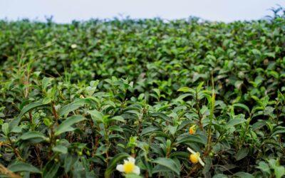 """Dégustation de nos thés """"made in Vietnam"""" le 17 octobre à Carpentras, si vous êtes dans le coin… 😉"""